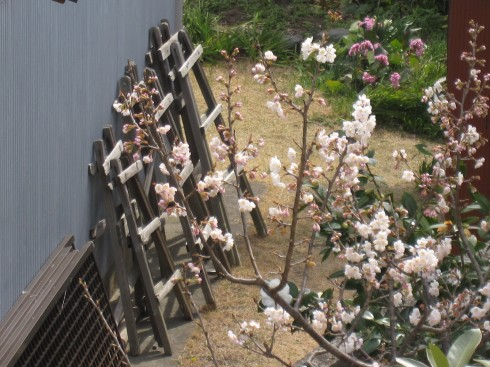 わが家の庭で、一足先に桜が咲いた。抱きしめたくなる