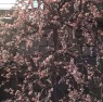 大阪天満宮の梅の花(花粉症とは関係ありません)