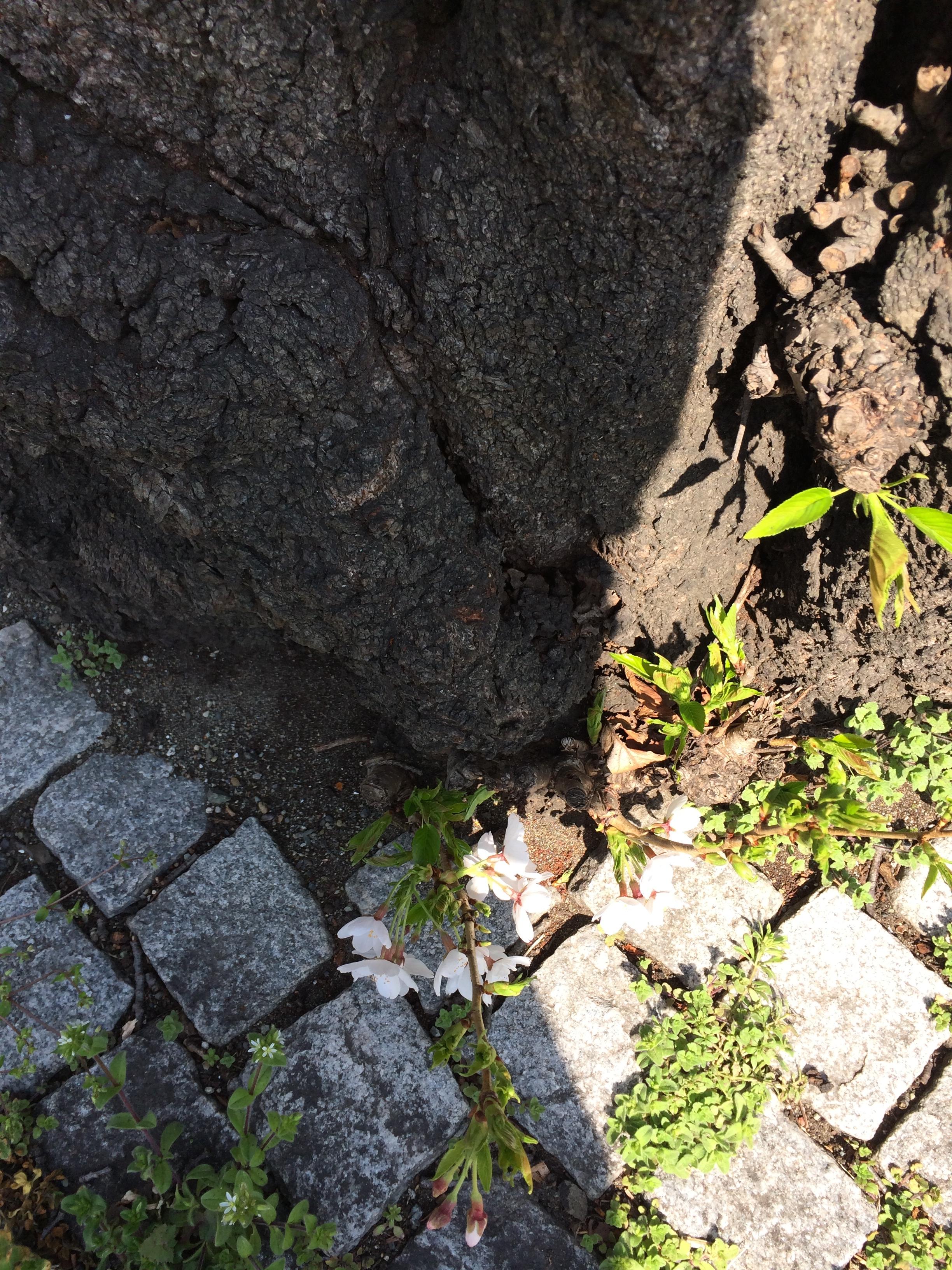 JOYWOW横浜守り神の桜。根っこからも花が咲いていました